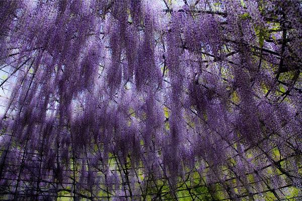 """Đẹp kinh ngạc vườn hoa """"tình yêu vĩnh cửu"""" ở Nhật Bản 6"""