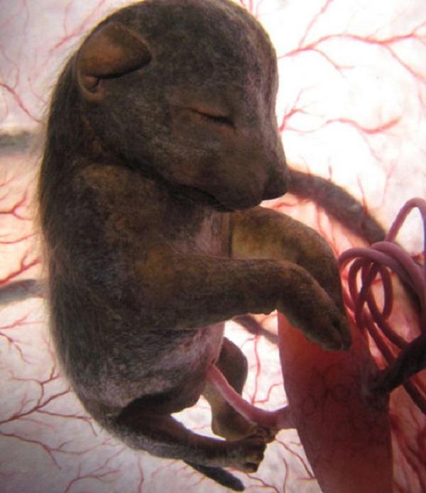 Hình ảnh kinh ngạc về bào thai động vật trong bụng mẹ 1