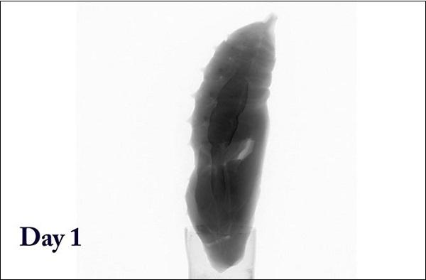 Hình ảnh đa chiều mới nhất của quá trình sâu biến thành bướm 2