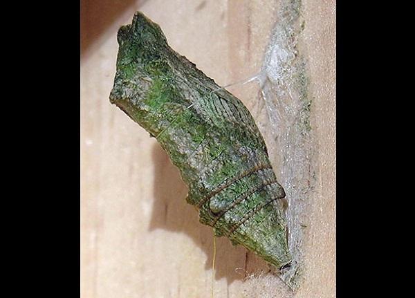 Hình ảnh đa chiều mới nhất của quá trình sâu biến thành bướm 4