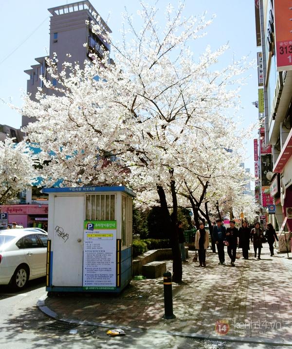 Chùm ảnh: Hoa anh đào phủ trắng các con đường tại Hàn Quốc 1