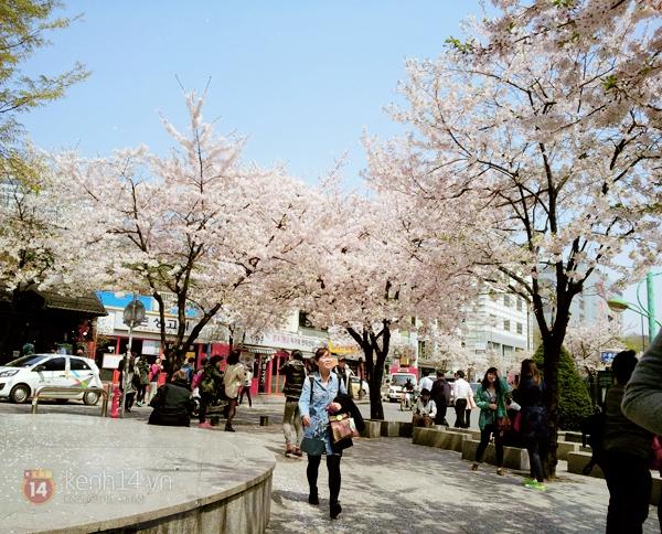 Chùm ảnh: Hoa anh đào phủ trắng các con đường tại Hàn Quốc 3