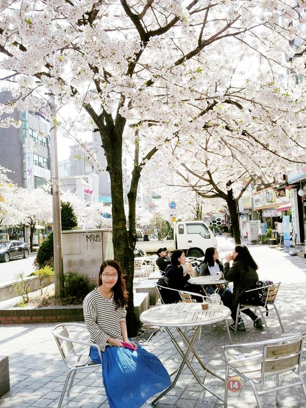 Chùm ảnh: Hoa anh đào phủ trắng các con đường tại Hàn Quốc 5