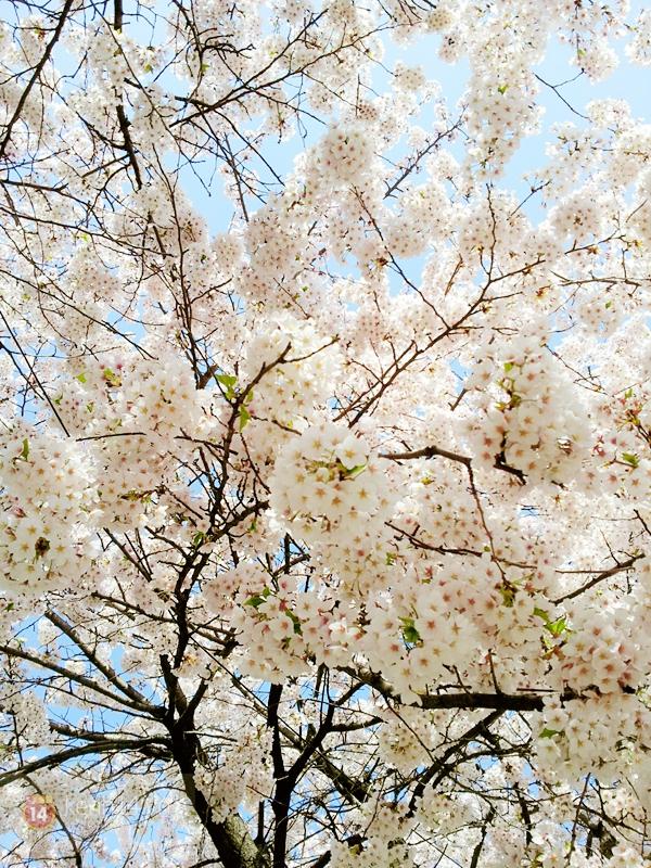 Chùm ảnh: Hoa anh đào phủ trắng các con đường tại Hàn Quốc 6