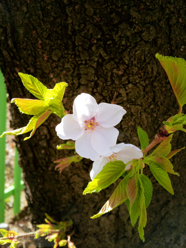 Chùm ảnh: Hoa anh đào phủ trắng các con đường tại Hàn Quốc 7