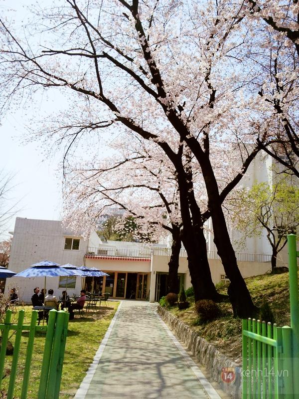 Chùm ảnh: Hoa anh đào phủ trắng các con đường tại Hàn Quốc 8