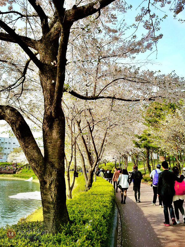 Chùm ảnh: Hoa anh đào phủ trắng các con đường tại Hàn Quốc 17