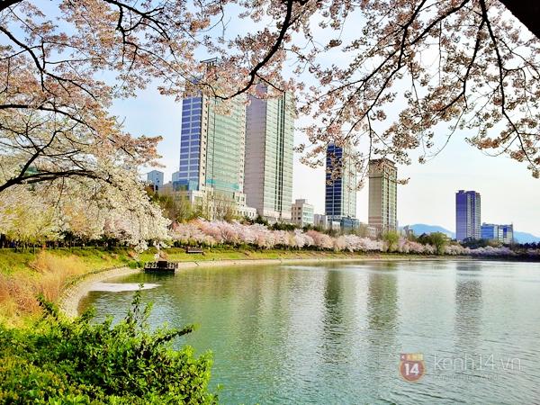 Chùm ảnh: Hoa anh đào phủ trắng các con đường tại Hàn Quốc 19