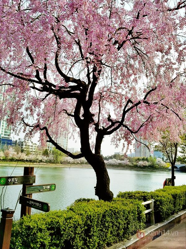 Chùm ảnh: Hoa anh đào phủ trắng các con đường tại Hàn Quốc 20
