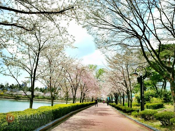 Chùm ảnh: Hoa anh đào phủ trắng các con đường tại Hàn Quốc 24
