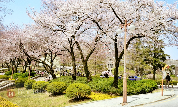 Chùm ảnh: Hoa anh đào phủ trắng các con đường tại Hàn Quốc 9