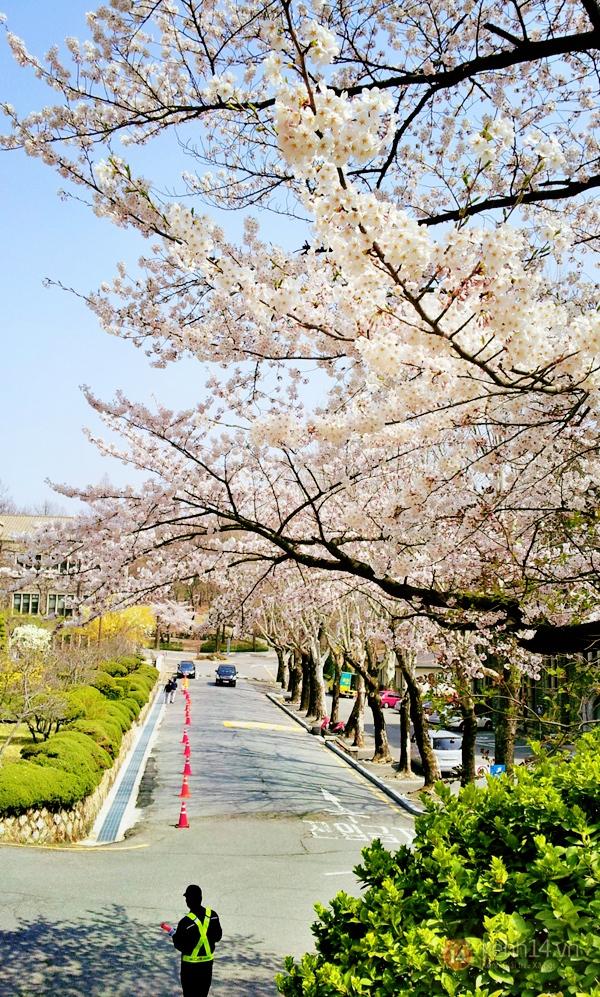 Chùm ảnh: Hoa anh đào phủ trắng các con đường tại Hàn Quốc 10