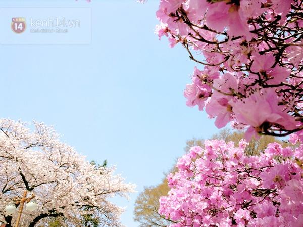 Chùm ảnh: Hoa anh đào phủ trắng các con đường tại Hàn Quốc 11