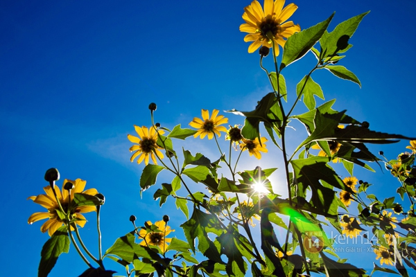 Ngỡ ngàng vẻ đẹp rực rỡ của mùa hoa dã quỳ Đà Lạt 9