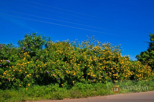 Ngỡ ngàng vẻ đẹp rực rỡ của mùa hoa dã quỳ Đà Lạt 10