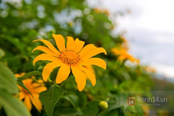 Ngỡ ngàng vẻ đẹp rực rỡ của mùa hoa dã quỳ Đà Lạt 14