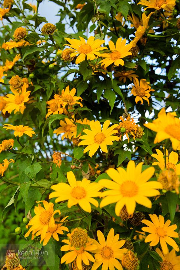Ngỡ ngàng vẻ đẹp rực rỡ của mùa hoa dã quỳ Đà Lạt 16
