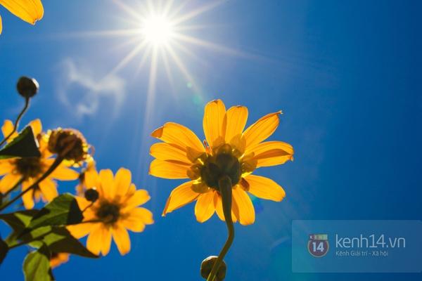 Ngỡ ngàng vẻ đẹp rực rỡ của mùa hoa dã quỳ Đà Lạt 4