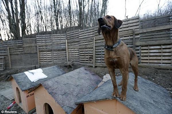 Olympic Mùa đông 2014: Hàng ngàn chú chó hoang dạo chơi tại Sochi 15