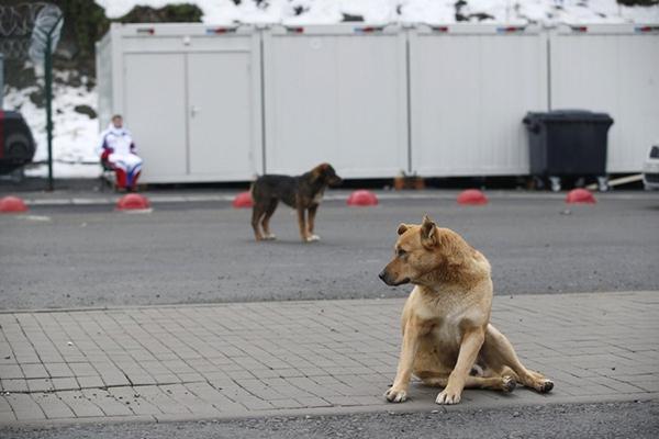 Olympic Mùa đông 2014: Hàng ngàn chú chó hoang dạo chơi tại Sochi 16
