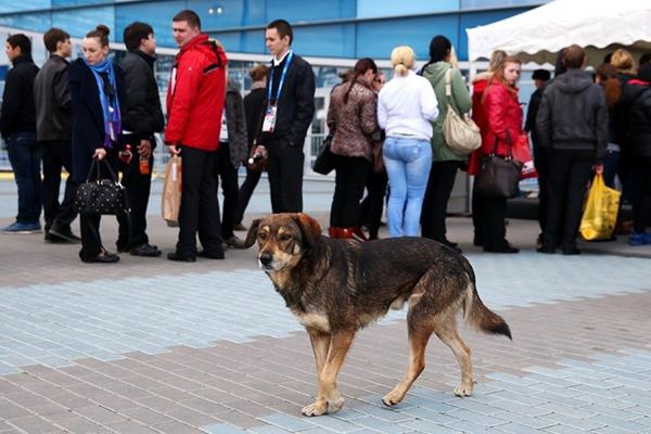 Olympic Mùa đông 2014: Hàng ngàn chú chó hoang dạo chơi tại Sochi 18