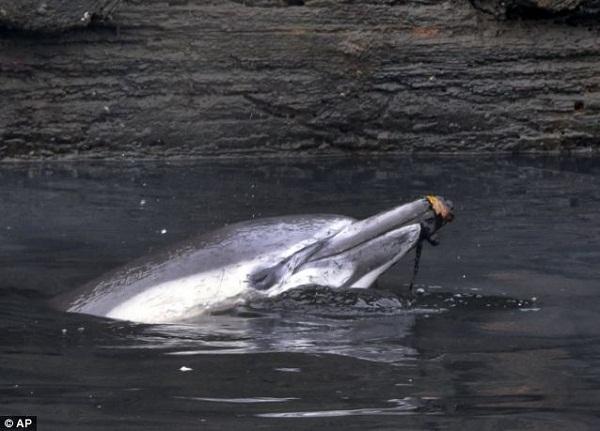 Hình ảnh chú cá heo vật lộn trước khi chết gây xúc động 3