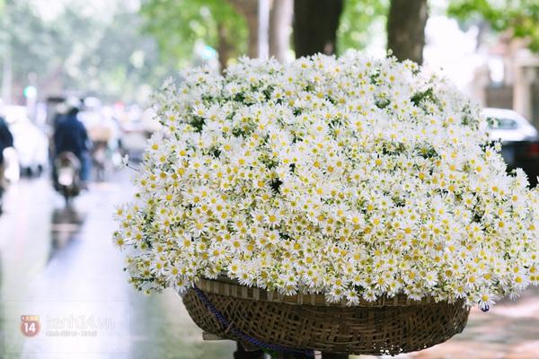 Đón mùa hoa cúc hoạ mi về trên phố Hà Nội