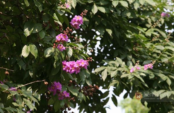 Bằng lăng, phượng hồng đã rợp trời Hà Nội 6