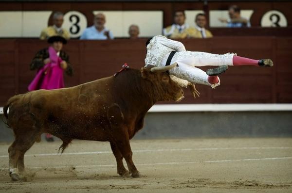 Võ sỹ đấu bò suýt chết vì bị… bò húc 3