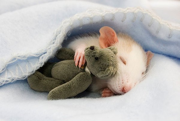 3 chú chuột nhỏ bên gấu bông làm tan chảy trái tim của những người yêu động vật 2