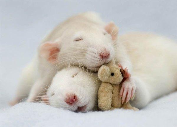 3 chú chuột nhỏ bên gấu bông làm tan chảy trái tim của những người yêu động vật 1