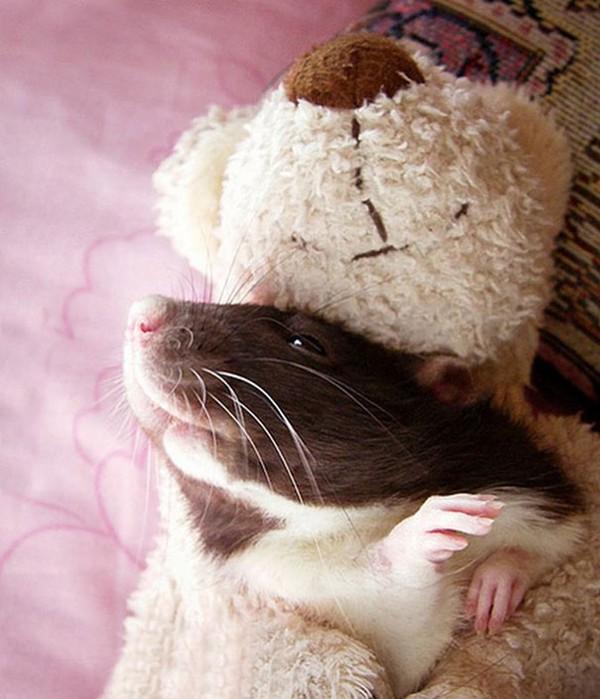 3 chú chuột nhỏ bên gấu bông làm tan chảy trái tim của những người yêu động vật 4
