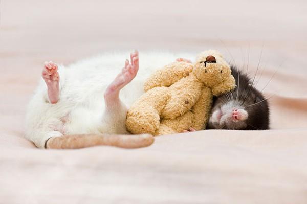 3 chú chuột nhỏ bên gấu bông làm tan chảy trái tim của những người yêu động vật 6