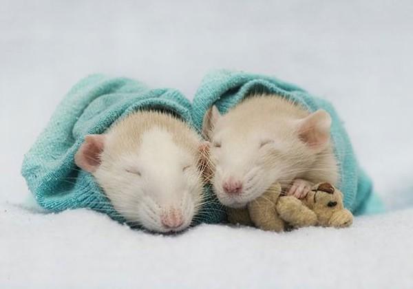 3 chú chuột nhỏ bên gấu bông làm tan chảy trái tim của những người yêu động vật 8