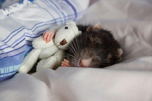 3 chú chuột nhỏ bên gấu bông làm tan chảy trái tim của những người yêu động vật 9