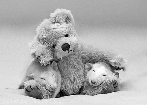 3 chú chuột nhỏ bên gấu bông làm tan chảy trái tim của những người yêu động vật 11