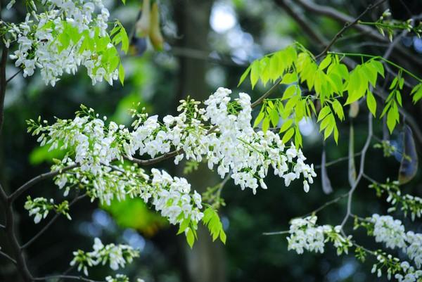 Tháng ba ta đi tìm mùa hoa sưa Hà Nội… 2