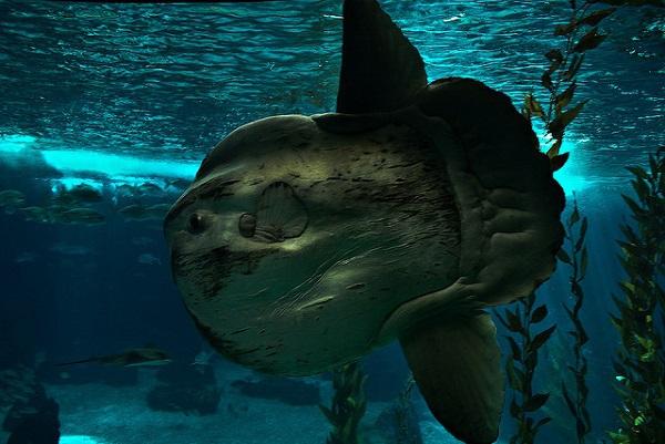 """Điểm tên các loài cá quái vật """"hiếm có khó tìm"""" trên Trái Đất 6"""
