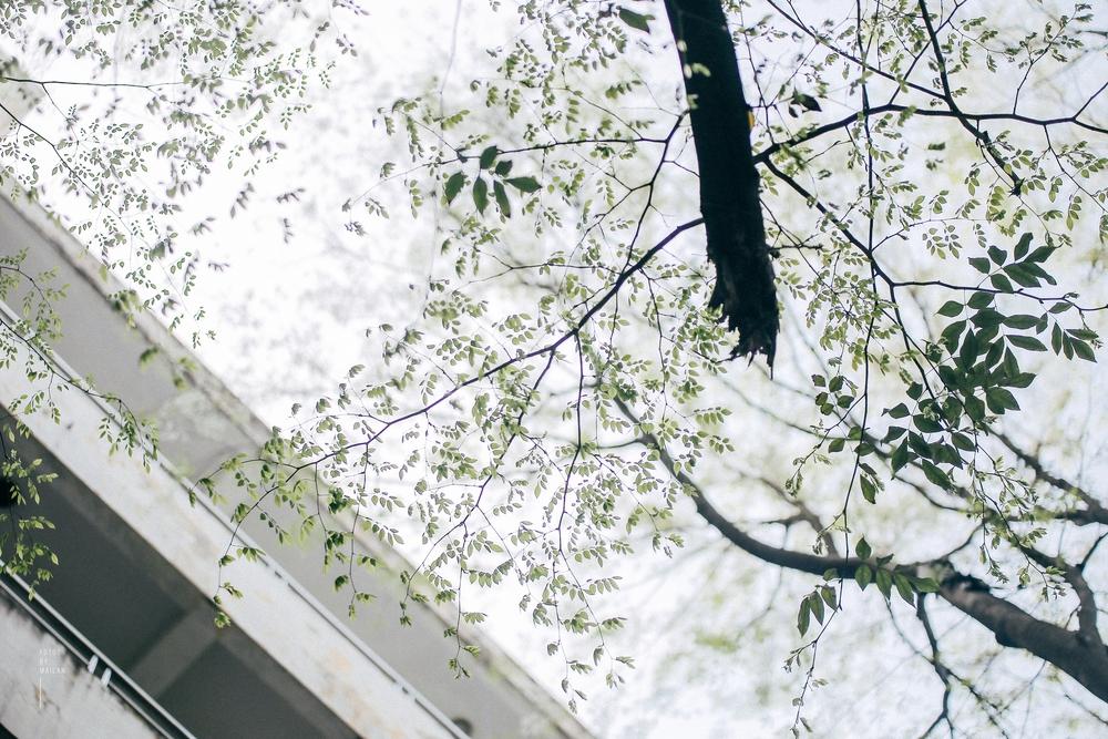 Hoa sưa nở rồi, tiết trời nồm ẩm tháng 3 của Hà Nội cũng vì thế mà dịu dàng hơn... - Ảnh 1.