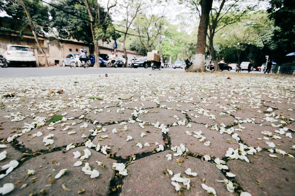 Hoa sưa nở rồi, tiết trời nồm ẩm tháng 3 của Hà Nội cũng vì thế mà dịu dàng hơn... - Ảnh 9.