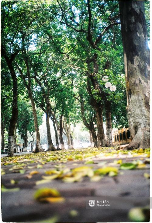 Những ngày Hà Nội rất nóng, nhưng lòng dịu lại vì cảnh lá rụng đẹp như mùa thu thứ 2 - Ảnh 4.