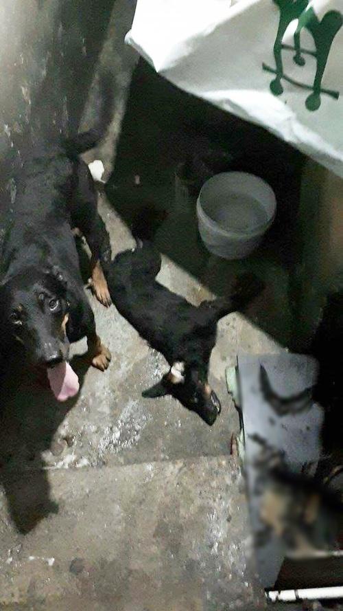 Xót xa cảnh cả đàn chó gắn bó với gia đình suốt 5 năm bị đánh bả chết tại Hà Nội - Ảnh 2.