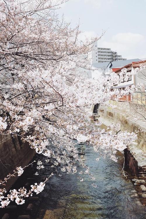 Ra đây mà xem người ta kéo nhau sang Nhật ngắm hoa anh đào hết rồi! - Ảnh 2.
