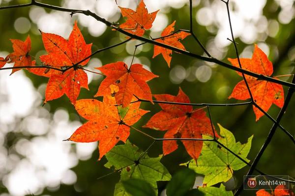 Mê mẩn với cánh rừng lá phong độc nhất vô nhị tại Đà Lạt