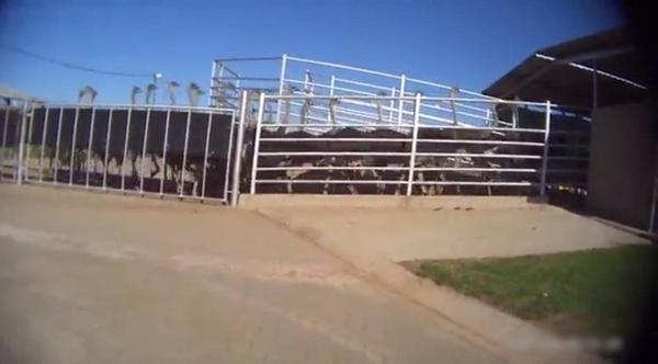 Video: Những hình ảnh ghê rợn về quá trình lột da đà điểu làm túi hàng hiệu - Ảnh 2.