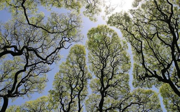 """Cho đến ngày nay, hiện tượng các tán lá trong rừng cứ """"né tránh"""" nhau vẫn được xem là một bí ẩn không lời giải"""