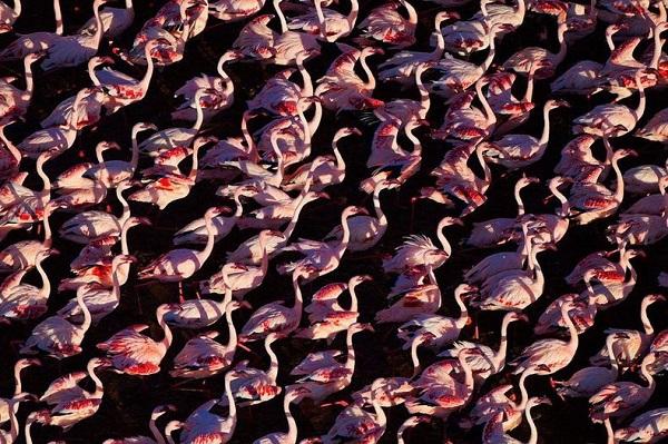 Những hình ảnh hồng hạc bay lượn đẹp tuyệt trần 2