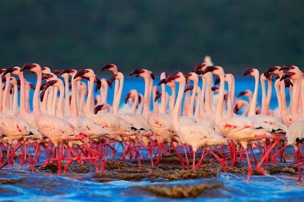 Những hình ảnh hồng hạc bay lượn đẹp tuyệt trần 13