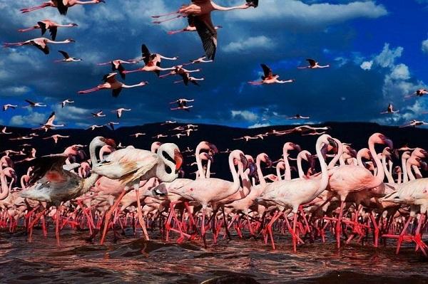 Những hình ảnh hồng hạc bay lượn đẹp tuyệt trần 10