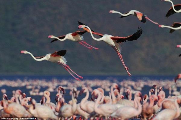 Những hình ảnh hồng hạc bay lượn đẹp tuyệt trần 3